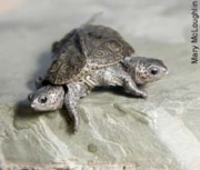 DUAL CONTROLS: Jekyll & Hyde, conjoined diamondback turtles found at the Jamaica Bay Wildlife Refuge, share six legs and a shell. --New York Post