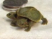 Two-headed turtle discovered by eighth-graders (WNDU)